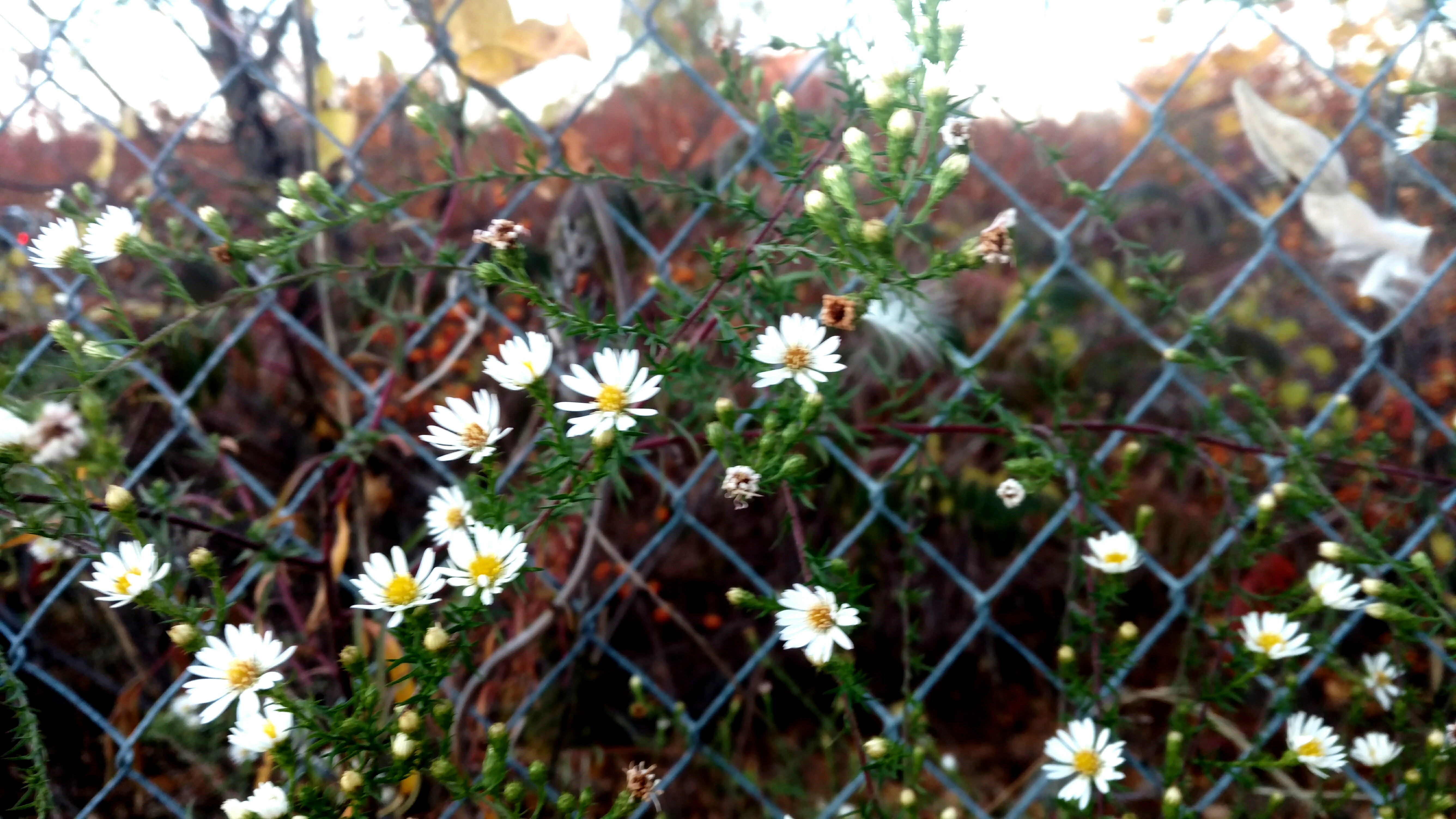 asters-in-chainlink
